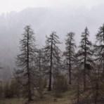 Die 700 Jahre alten Bäume nehmen es gelassen