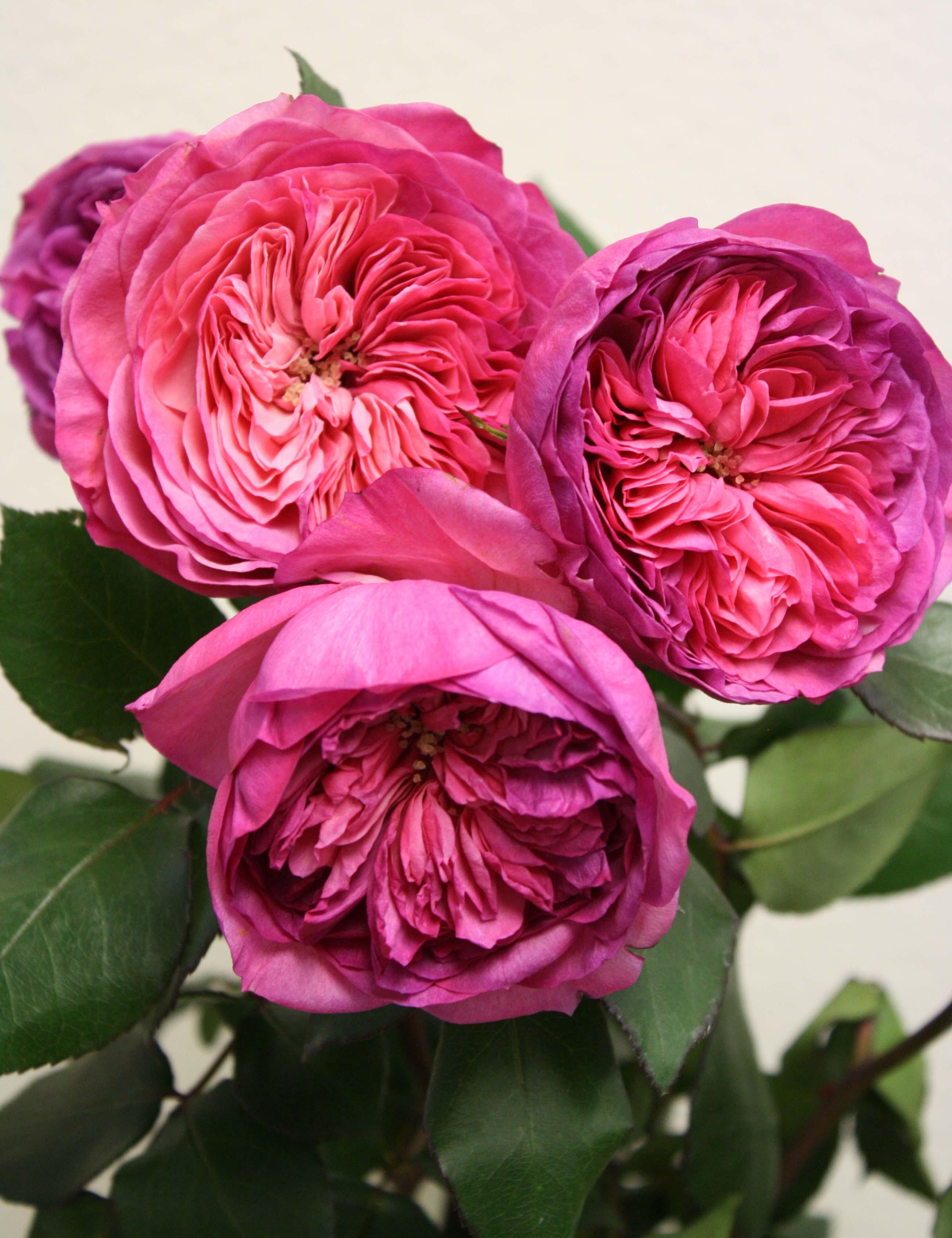 Pink Garden Rose Varieties by Florabundance  Flirty