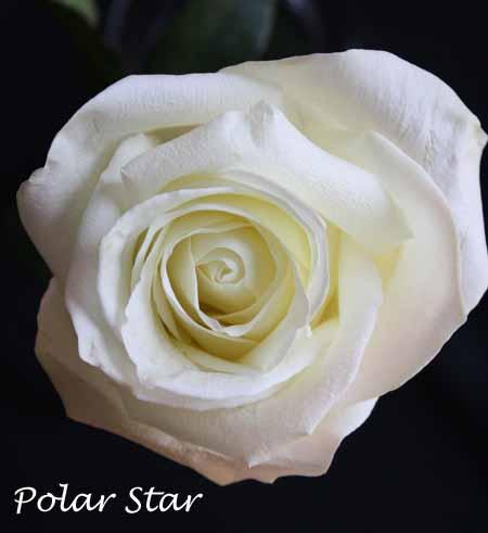 Varieties of White Roses  Flirty Fleurs The Florist Blog