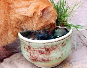 Bijou Drinking Out of His Cat Water Drinking Fountain