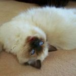Pippa- Seal Color Point Ragdoll Kitten at 6 months (Laurie Kept Her)