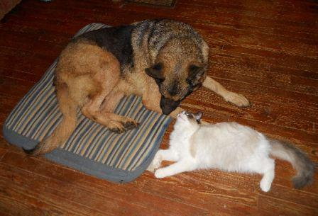 This is my 10 month old seal bi-color Ragdoll, Nicky, hanging out with my 5 yr. old German Shepherd, Rowdy.  Owned by Joan Frost