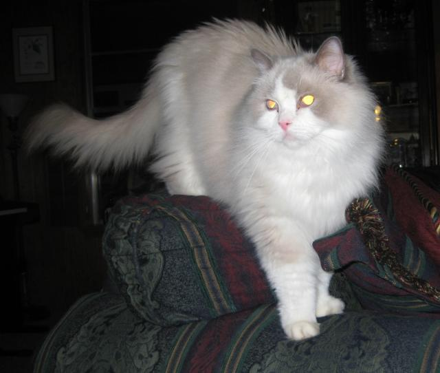 Craigslist Duluth Superior >> Ragdoll Rescue - Importance of Adopting Senior Cats