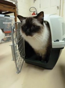 Ragdoll Cat Caymus Marchioro Cayman Pet Carrier