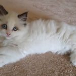 Ragdoll Kitten Seal Bicolor with Paws Crossed