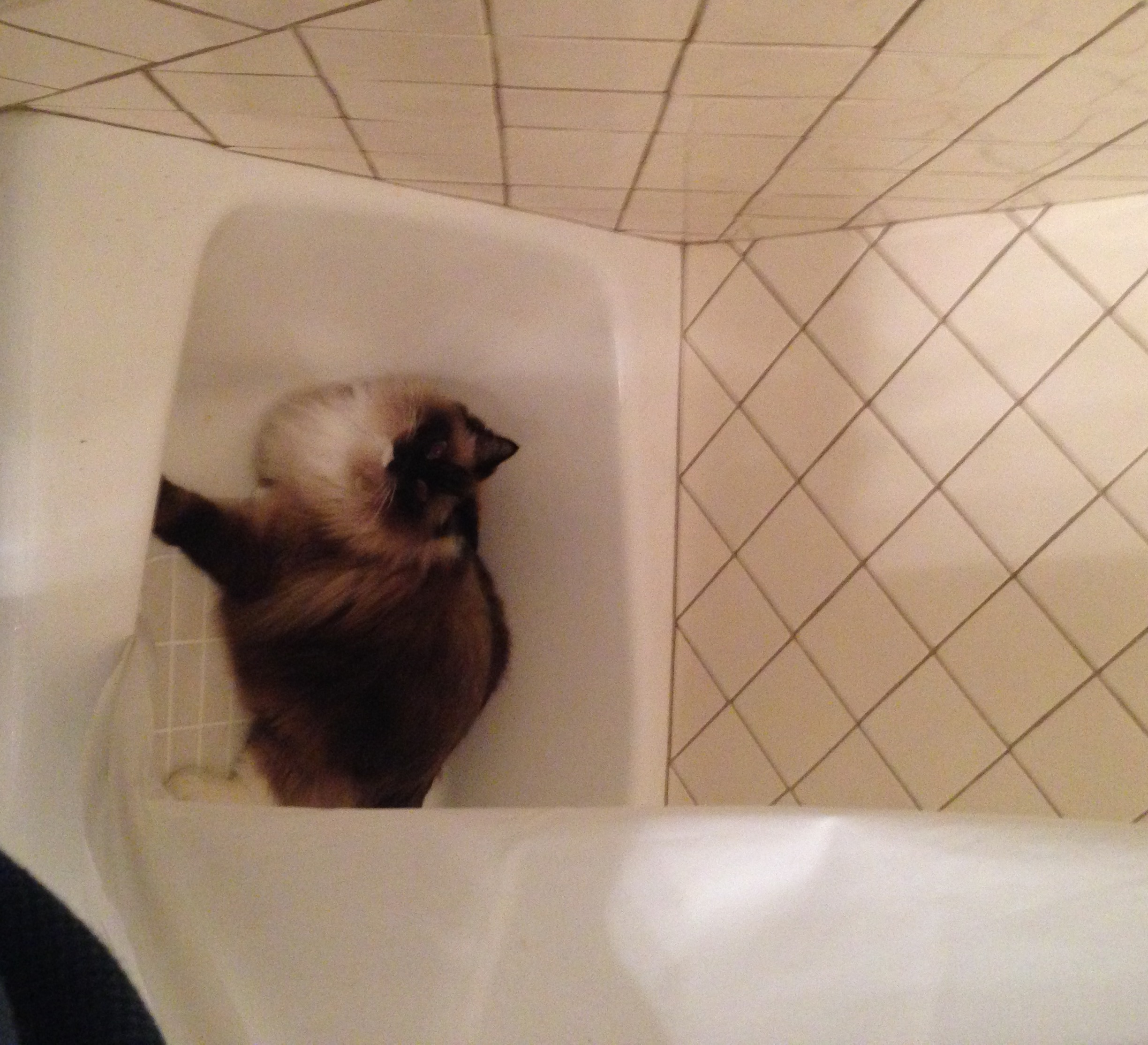 pictures of ragdoll cats