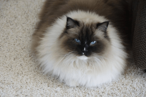 Seal Mitted Ragdoll Cat with a Blaze My beautiful Christmas Kitty Noel loved by Terri