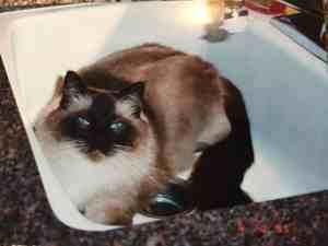 Rags Ragdoll Cat in a Sink