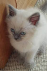 baby fred Freddy - Ragdoll of the Week