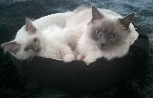 Freddy - Ragdoll of the Week