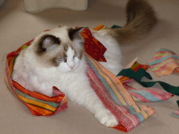 Moose - Ragdoll of the Week