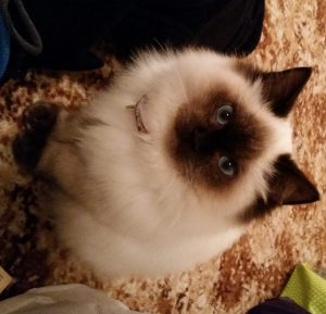 Ragdoll of the Week