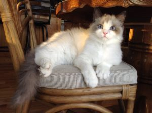 Nicolai - Ragdoll of the Week 3