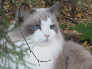 Nicolai - Ragdoll of the Week
