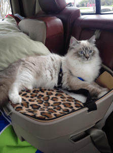 Traveling with a Ragdoll Cat by Car