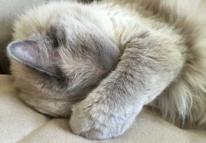 Shadow - Ragdoll Cat of the Week 6