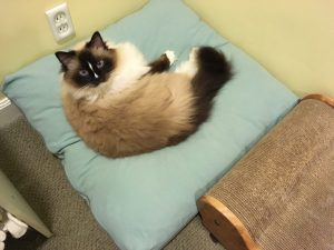 Peach Pet Provisions Pet Pillow Bed Ragdoll Cat Charlie on (3)
