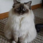 Savannah - Ragdoll of the Week 6