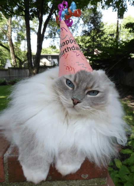 Ragdoll Cat Trigg Turns 7 Years Old 4