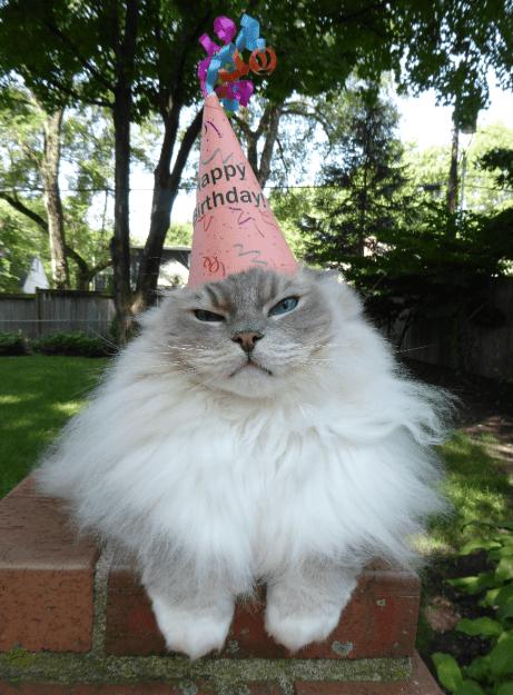 Ragdoll Cat Trigg Turns 7 Years Old