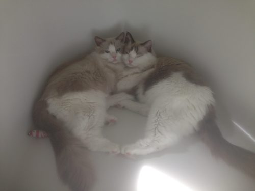 dusty-and-dolly-ragdolls-of-the-week-iphonefeb2016-177