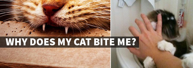 Why Does My Cat Bite Me? 4 Reasons for Understanding