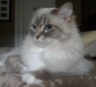 Skyy, a Blue Lynx Mitted Ragdoll cat.