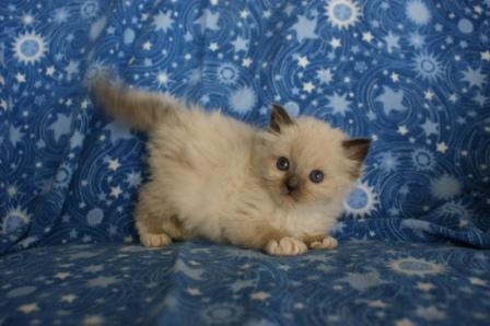 Palace Cats Ragdoll Kitten