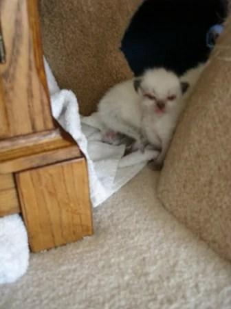 Ragdoll Kitten at 10 Days Old
