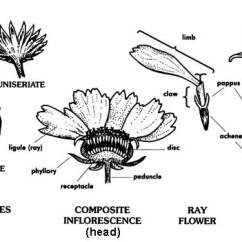 Flower Parts Diagram Scooter Cdi Wiring Diagrams Infloresence Types Composite