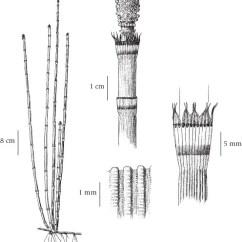 Horsetail Plant Diagram 2010 Mercedes Sprinter Wiring Equisetaceae Illustrated Key To Species