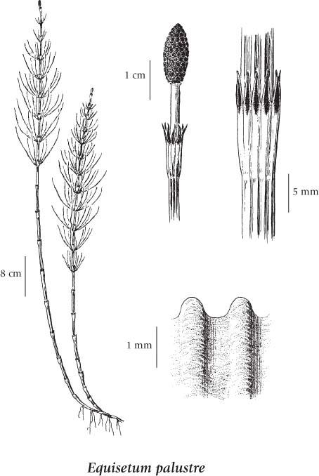 horsetail plant diagram sony marine radio wiring equisetum palustre