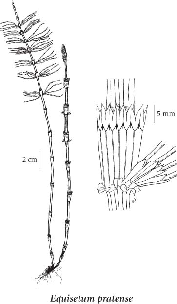 horsetail plant diagram set theory venn examples equisetaceae illustrated key to species