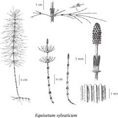 Horsetail Plant Diagram Murray Riding Mower Wiring Equisetum Sylvaticum Illustration