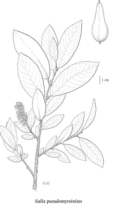 Salix pseudomyrsinites