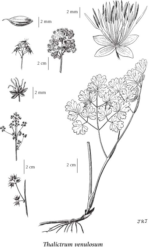 Thalictrum venulosum