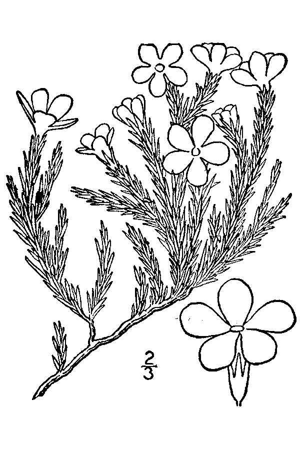 Phlox hoodii