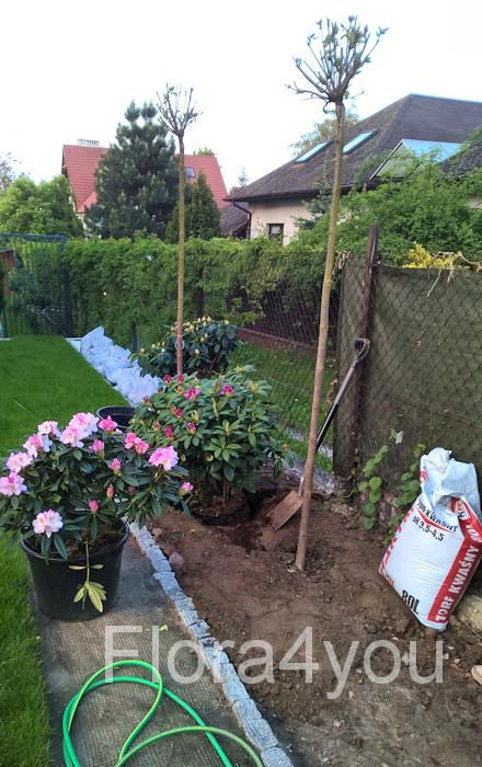 Sadzenie różaneczników w kwaśnym torfie