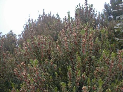 Erica platycodon