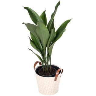 De mooiste Aspidistra (Kwartjesplant) koop je bij plantena.nl