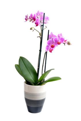 Orchideen  Die Sprache der Blumen