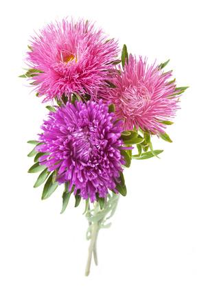 Astern  Die Sprache der Blumen