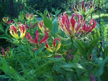 gloriosa-lily