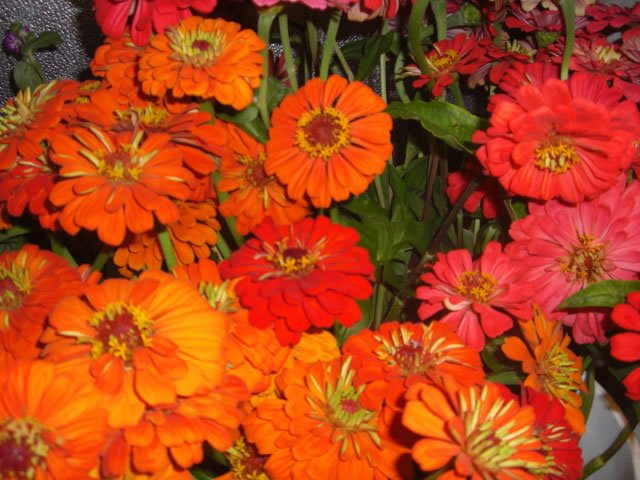 orange-zinnias
