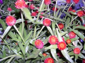red-gomphrena