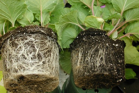 Pythium problems caused by overwatering