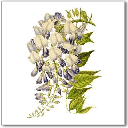 Floral ceramic wall tile, purple, blue and white wisteria flower on a white square background