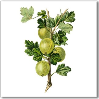 Ceramic wall tile with fruit design, green gooseberry plant on a white square background