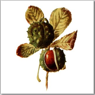 Ceramic wall tile with Horse Chestnut tree leaves and conkers on a white square background