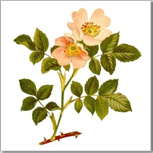 Flower Tiles - Wild Roses ceramic wall tile